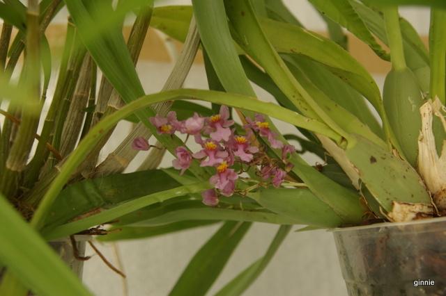 Serre chaude pour orchidées (projet 2015) - Page 3 Imgp7035