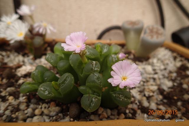 Floraisons de succulentes et cactées - Page 20 P9262313