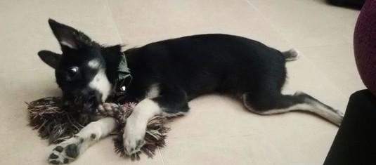 LITA - croisée pinscher/chihuahua noir et sable - 05/2015 - 3Kgs Lita110