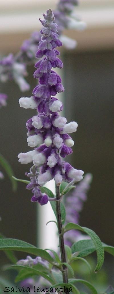 Salvia leucantha Dsc01711