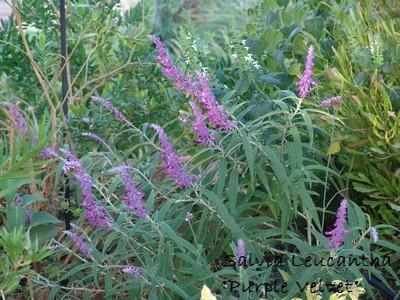 Salvia leucantha 'Purple Velvet'  Dsc03211