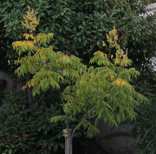 Koelreuteria bipinnata (= K. integrifoliola) Dscn5113