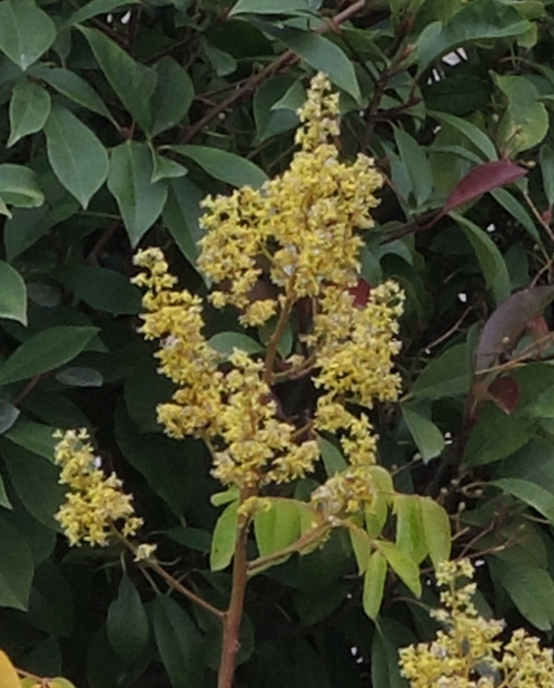 Koelreuteria bipinnata (= K. integrifoliola) Dscn5114