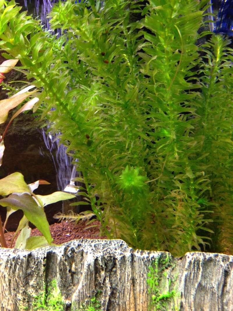 Algues filamenteuses + Mort plantes Image12