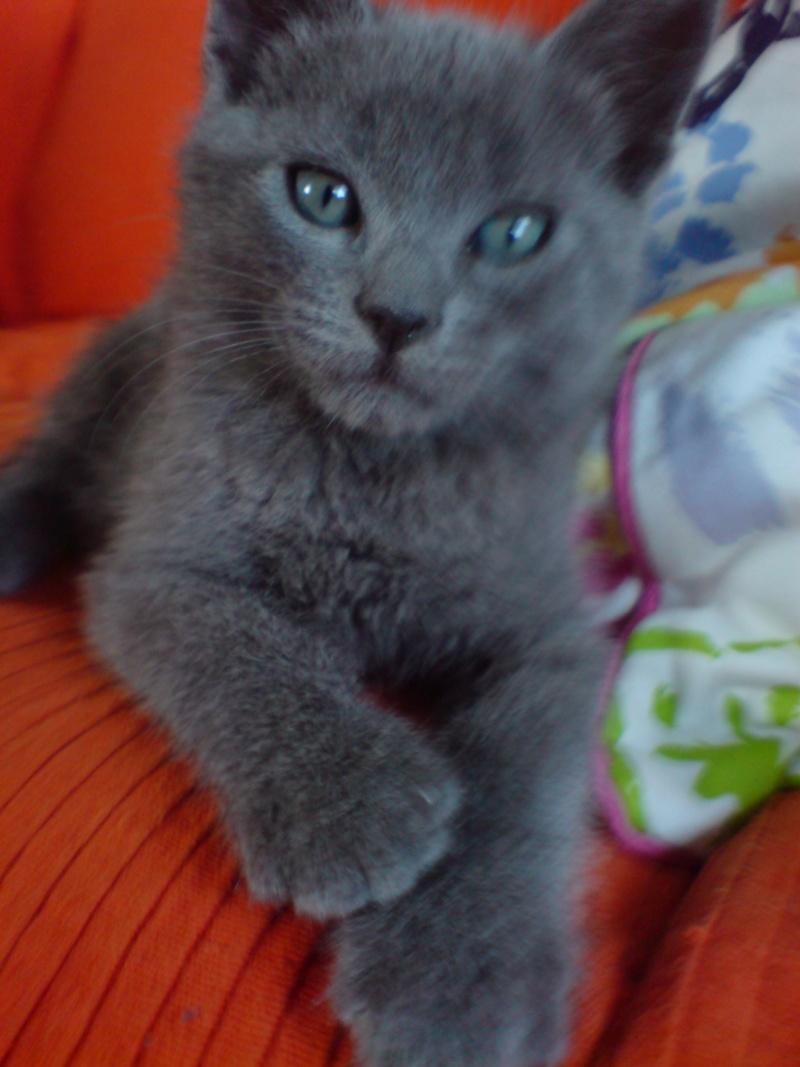 Perdu à Colomiers, chat typé chartreux Clafou10