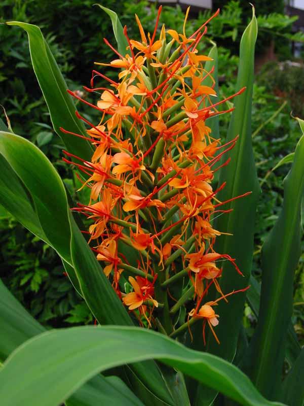 Hedychium gardnerianum 'Tara' alias H. coccineum 'Tara' Hedych12