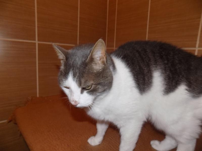 fethi - FETHI male gris et blanc né en 10/2010 Dscn0610