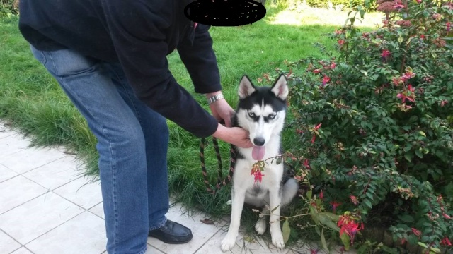 CHRISTAL femelle husky ....9 mois PART33 ADOPTEE Image010