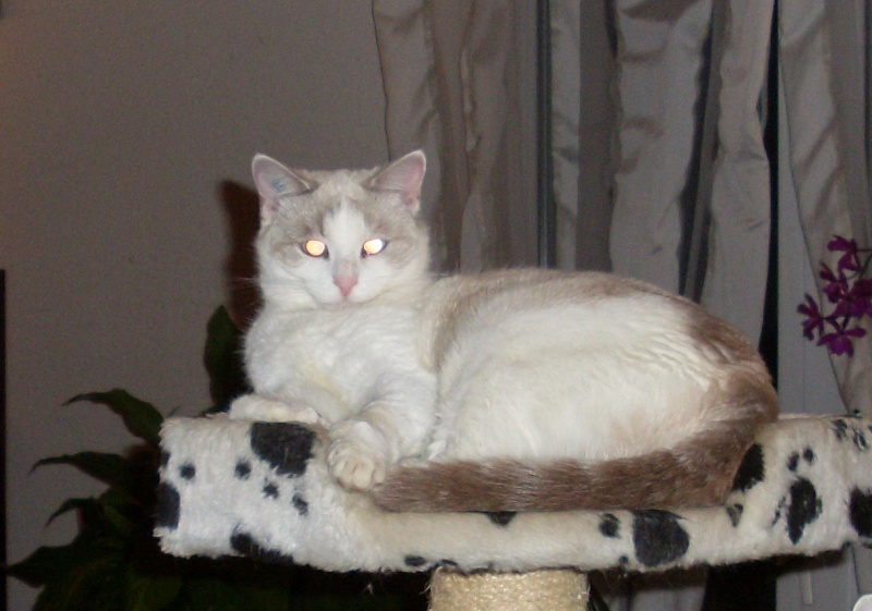 perdue chatte blanche chemin du Parc à Pibrac Sl382410