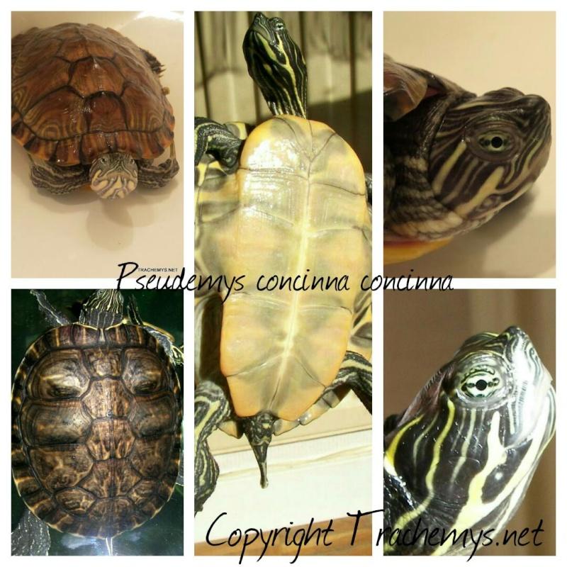 Pseudemys concinna (concinna, suwa...) 2014-110