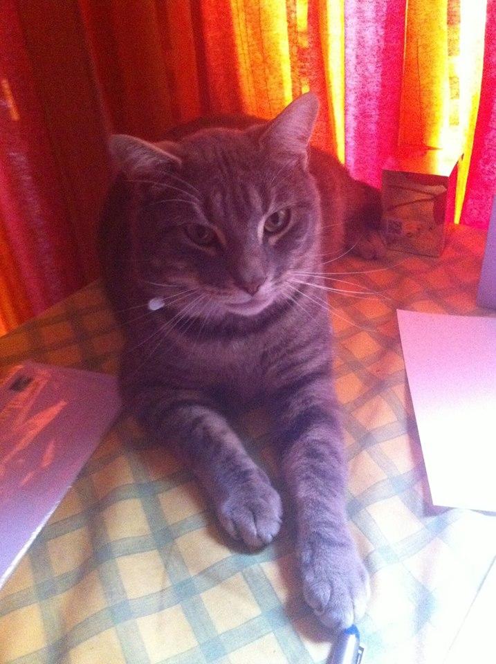 Perdu chat tigré gris et blanc vers lycée international à Colomiers Petale10