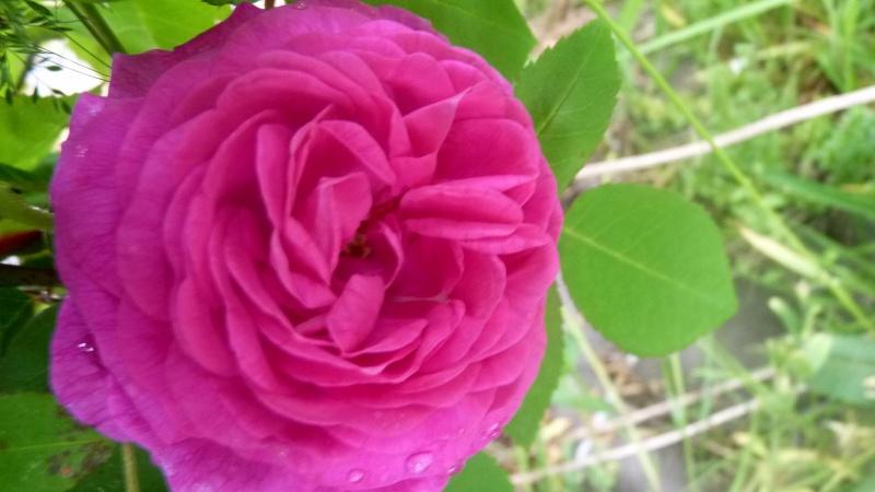 mes roses 2015 Chardo10