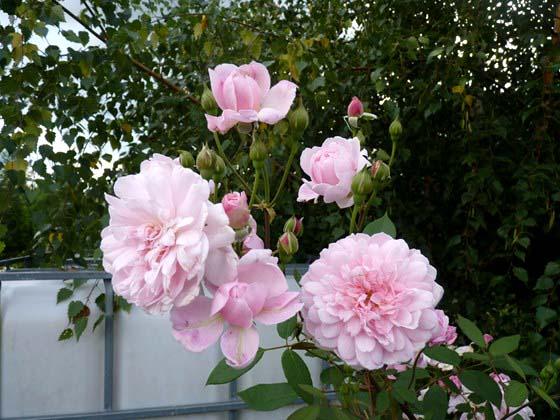 mes roses 2015 Mortim10