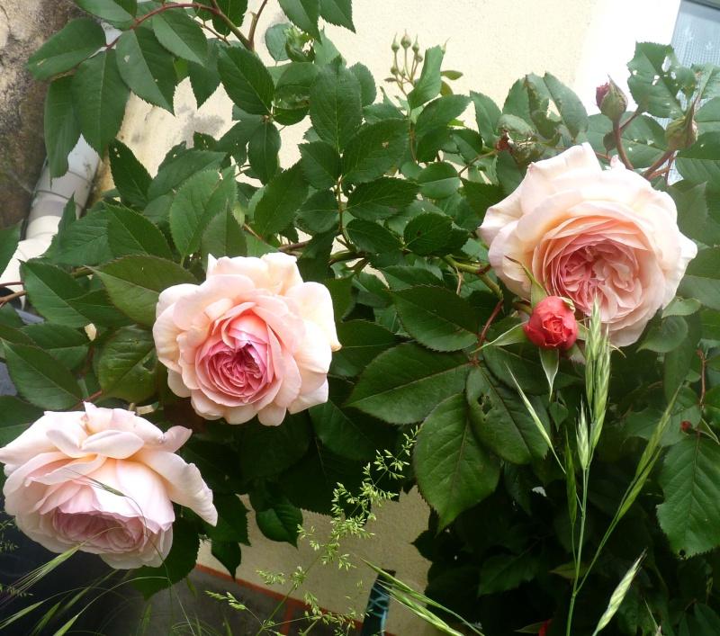 mes roses 2015 P1050410