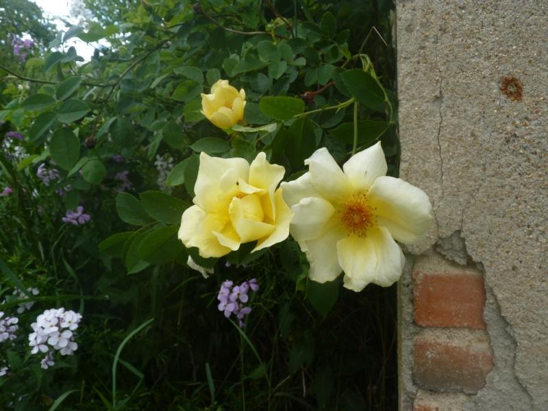 mes roses 2015 P1050411