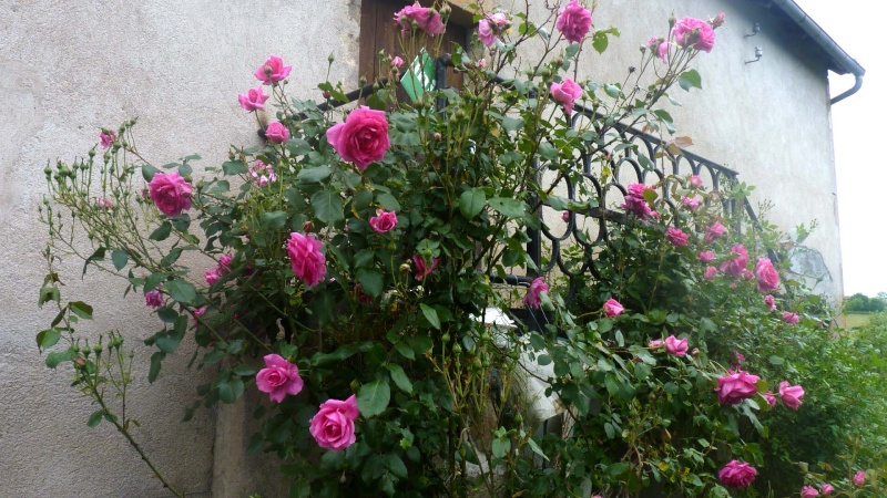 mes roses 2015 P1050412