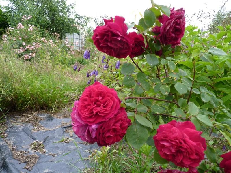 mes roses 2015 P1050510