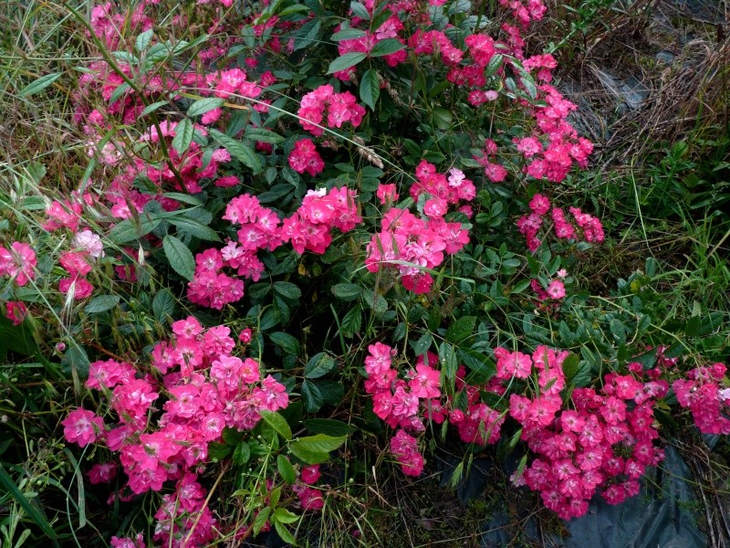 mes roses 2015 P1050610