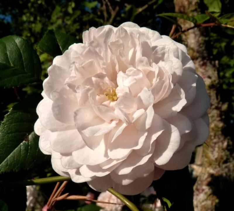 mes roses 2015 P1090410