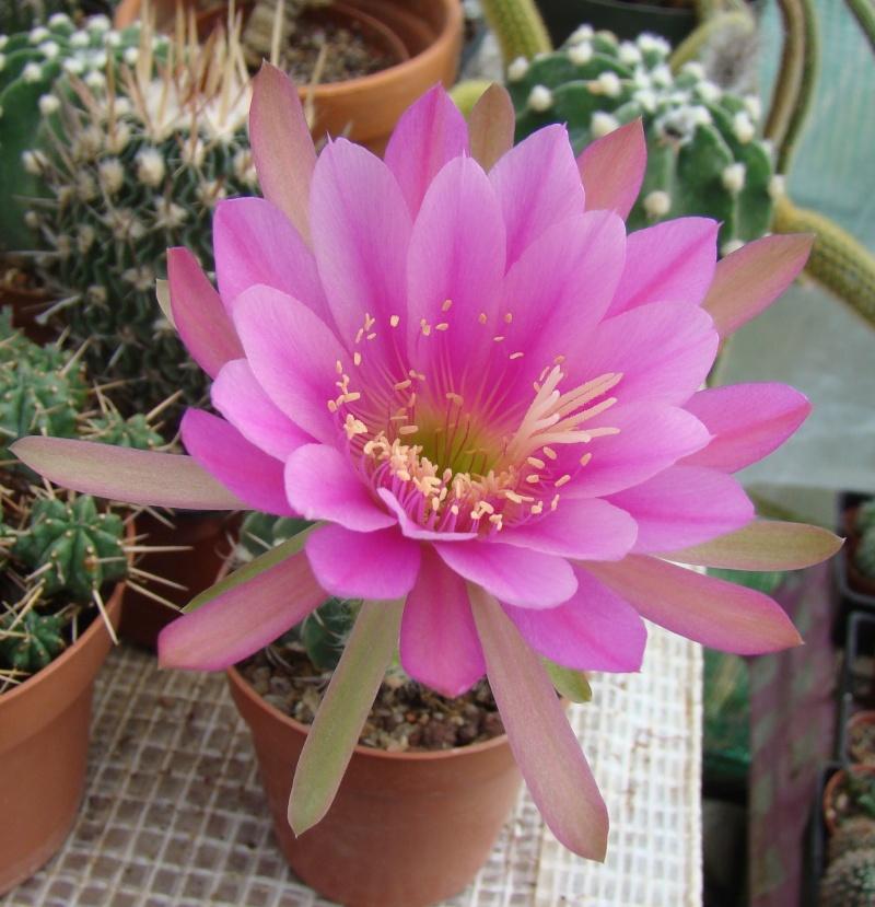 C'est qui ? Echinopsis... Dsc09218