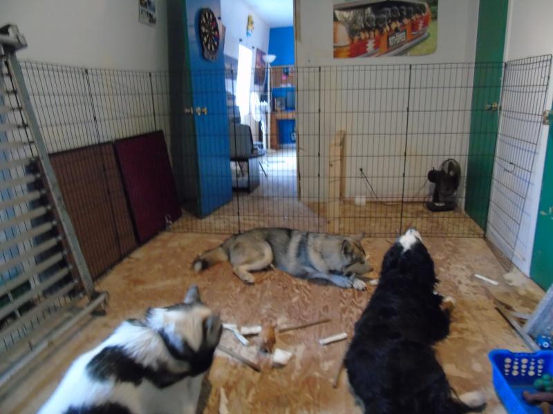 La chambre de mes chiens 00512