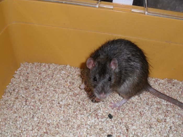 Recherche un loulou topaze Rat10