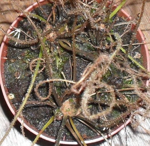 Hivernage : Drosera Filliformis (plante de Anti) 20_10_12