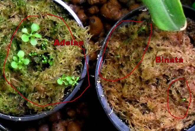 Drosera Adelae et Binata : Germe à partir de racines 22_09_10