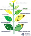 plantes qui jaunissent - Page 3 Carenc10