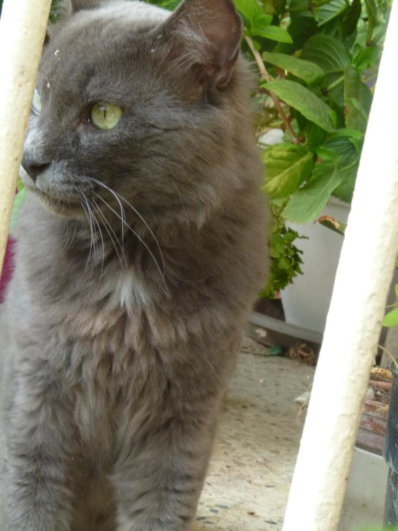 MISTI - chat mâle , 2 ans environ - (PERTUIS 84) - adopté par sa FA 00210