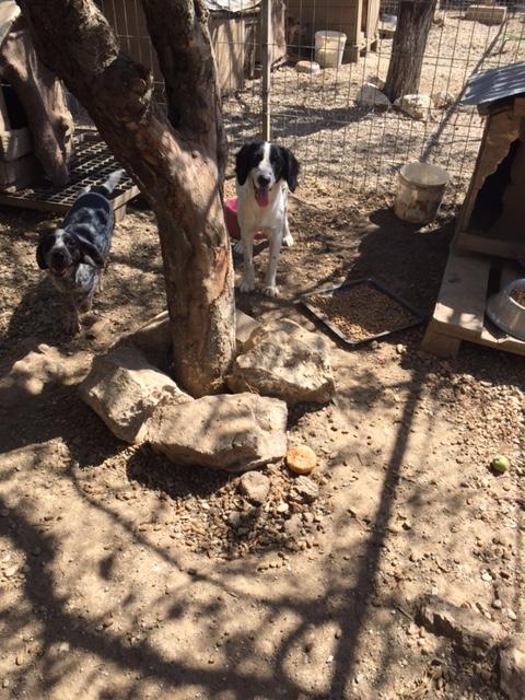 BONNIE- chiot femelle, croisée cocker née en mars 2015 - (CARMINA Bucarest) - adoptée par Evelyne (dpt67) Img_2911