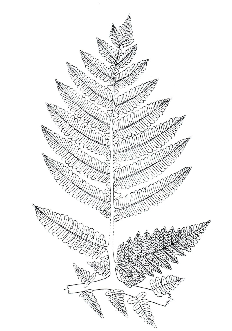 Callipteridium   Weiss , 1870 . Img00611