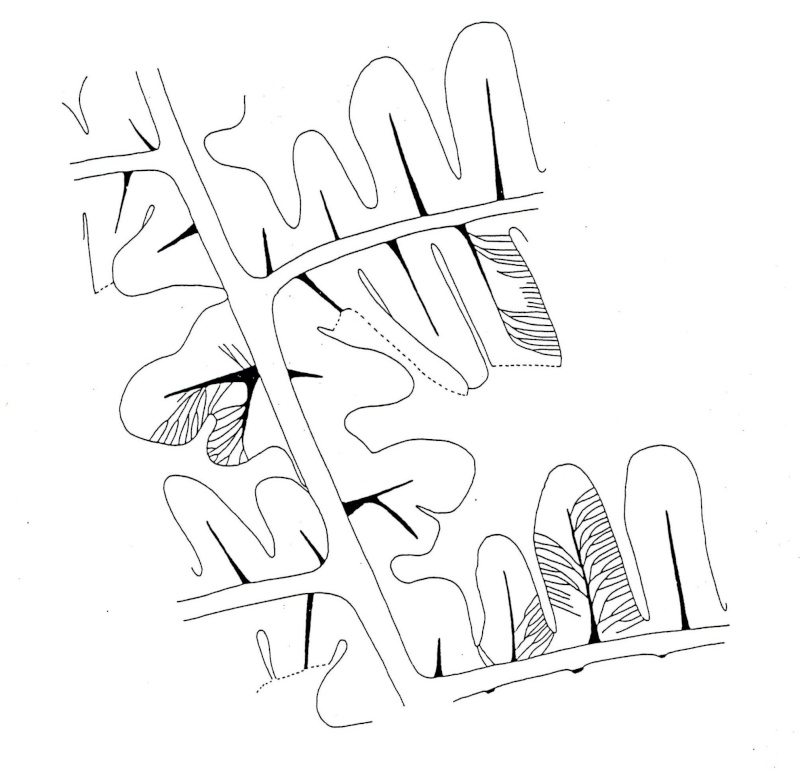 Callipteridium   Weiss , 1870 . Img00711