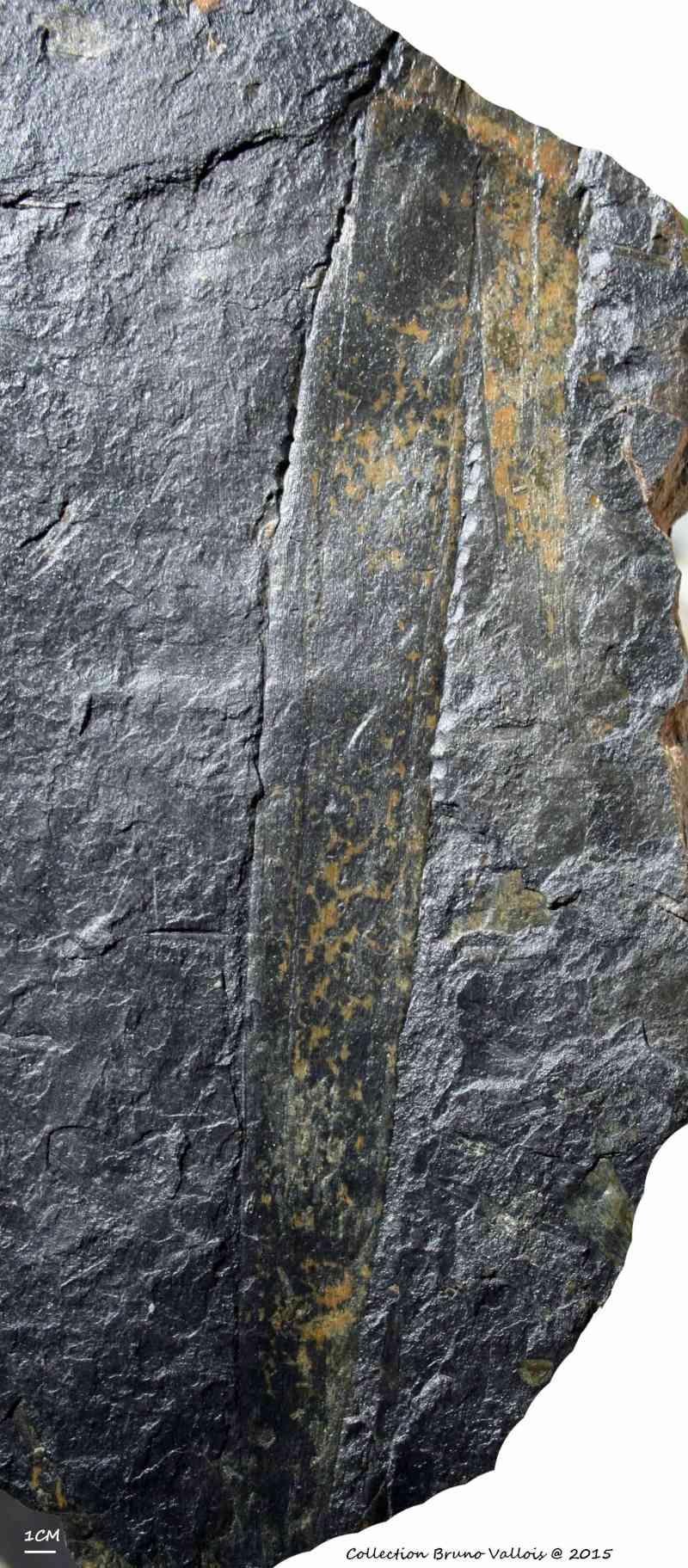 Flore Carbonifère des Alpes Françaises part 1 - Page 2 Img_2810