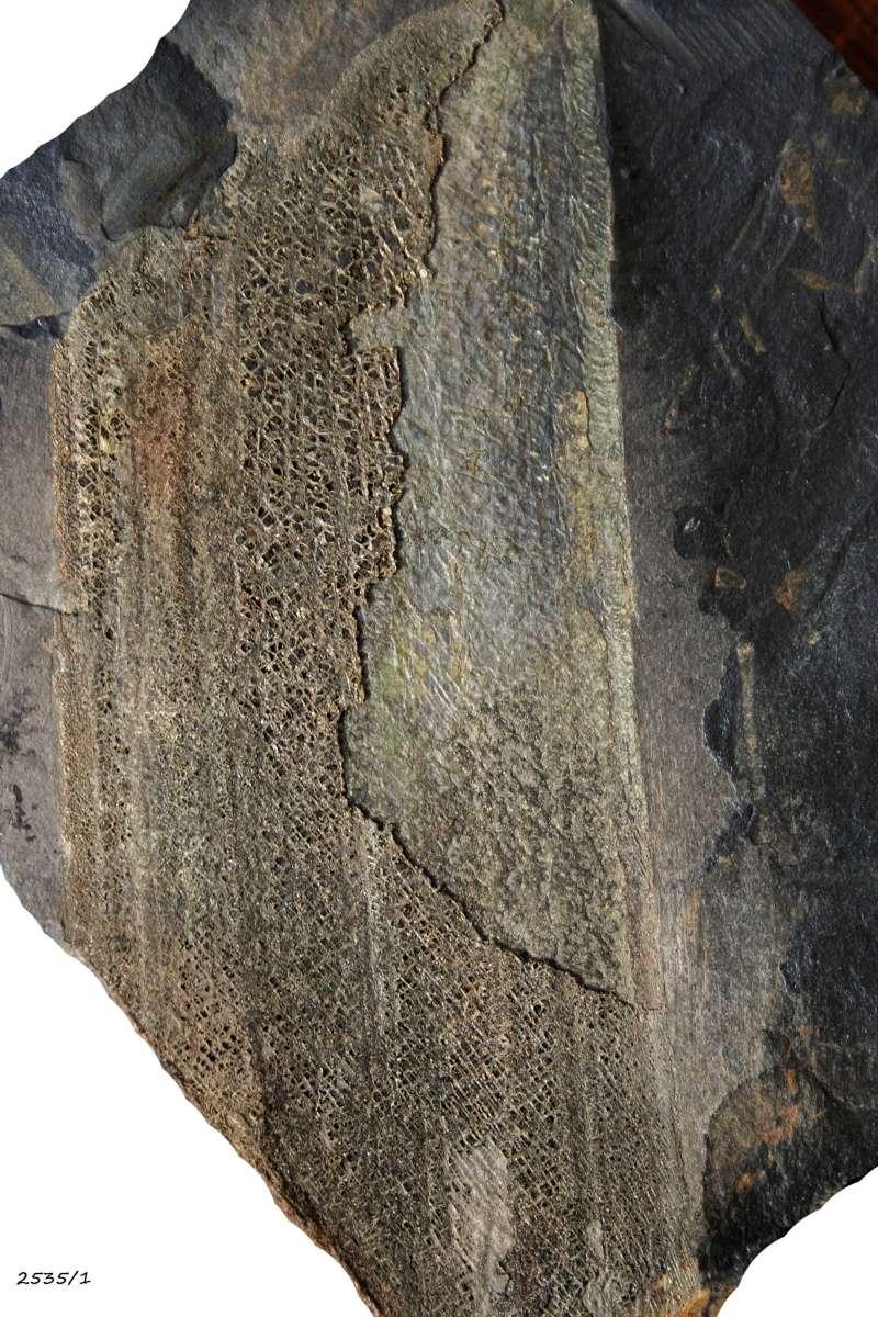 Flore Carbonifère des Alpes Françaises part 1 - Page 2 Img_2822