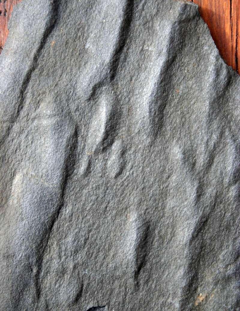 Flore Carbonifère des Alpes Françaises part 1 - Page 2 Img_2824