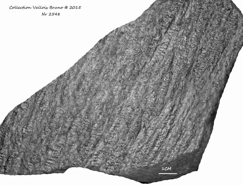 Flore Carbonifère des Alpes Françaises part 1 - Page 2 Img_3111
