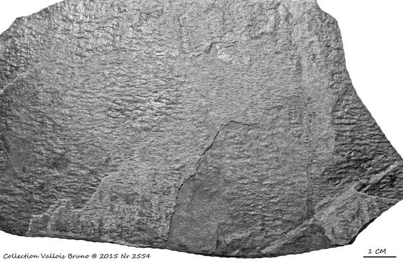 Flore Carbonifère des Alpes Françaises part 1 - Page 2 Img_3126