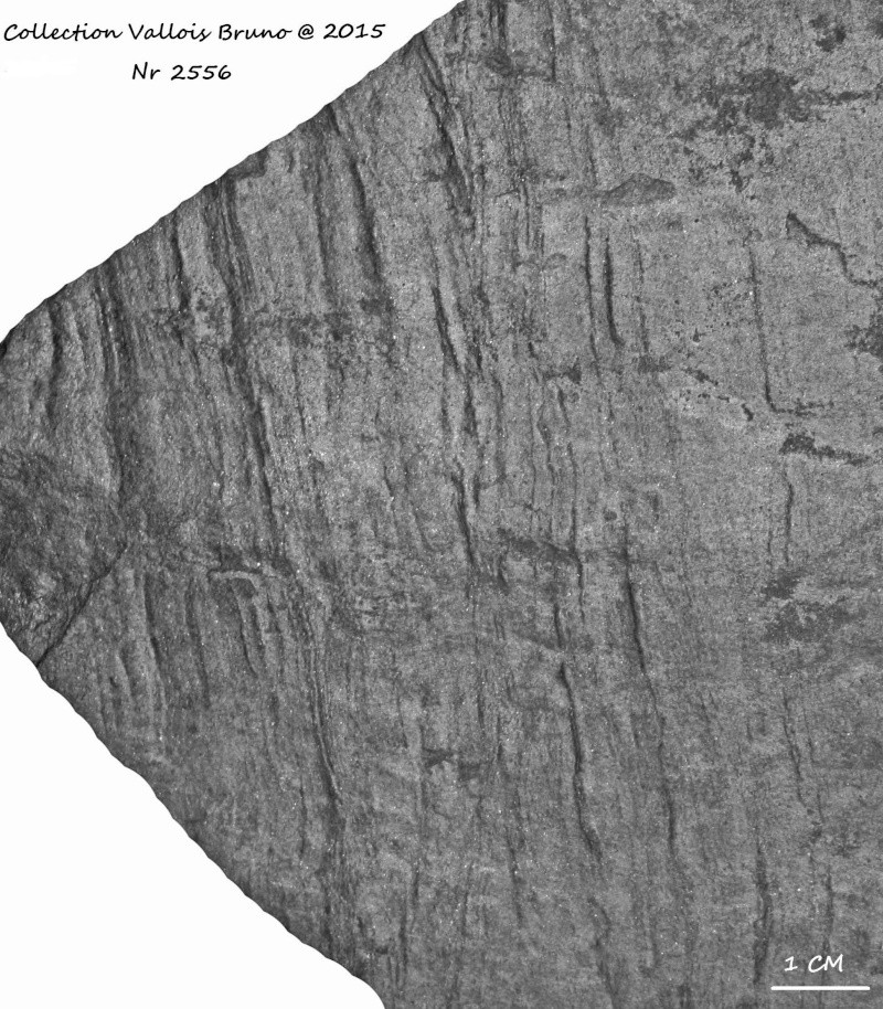 Flore Carbonifère des Alpes Françaises part 1 - Page 2 Img_3214