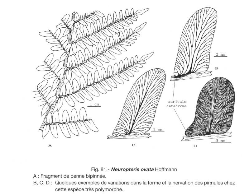 Flore Carbonifère des Alpes Françaises part 1 - Page 2 Lavein10
