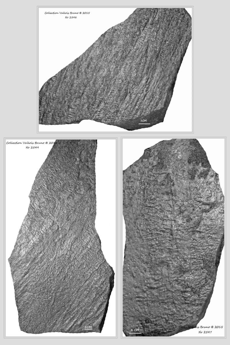 Flore Carbonifère des Alpes Françaises part 1 - Page 2 Ycorce10