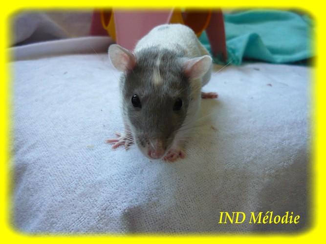 IND Mélodie X GOM Citrouille Indmal10