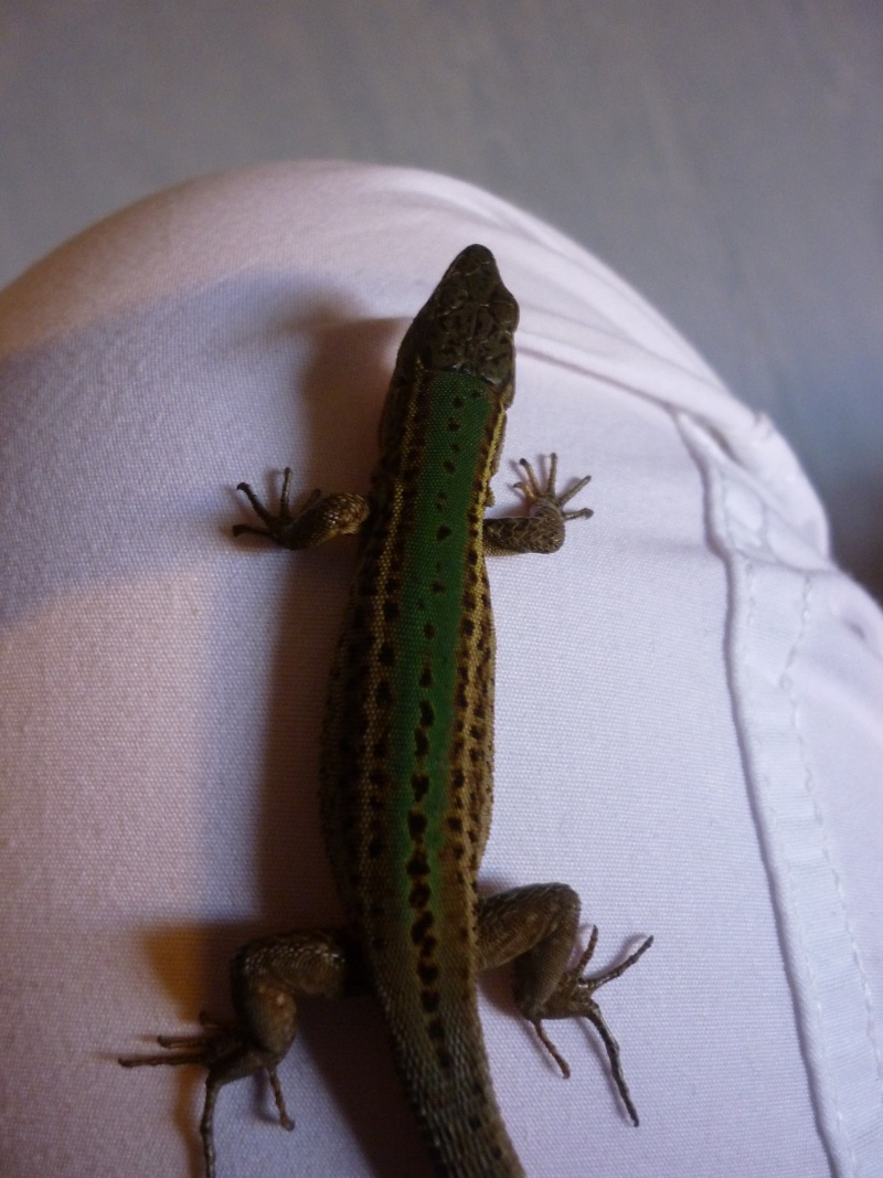Reptile de Crotatie Lyzard10