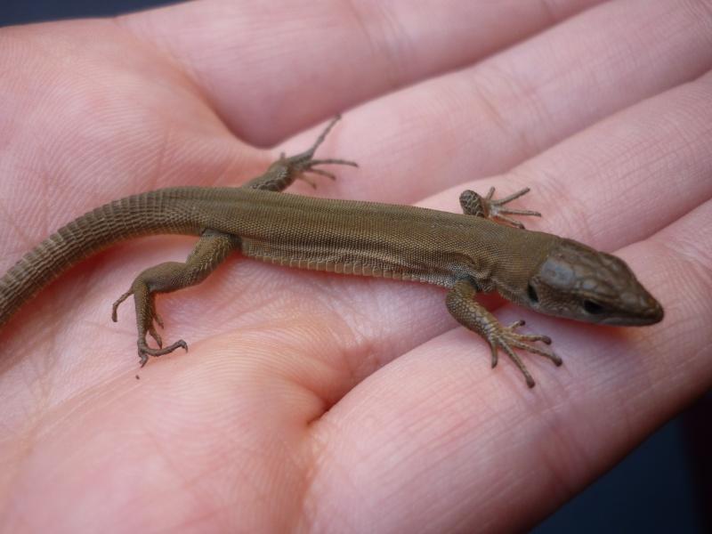 Reptile de Crotatie Lyzard11