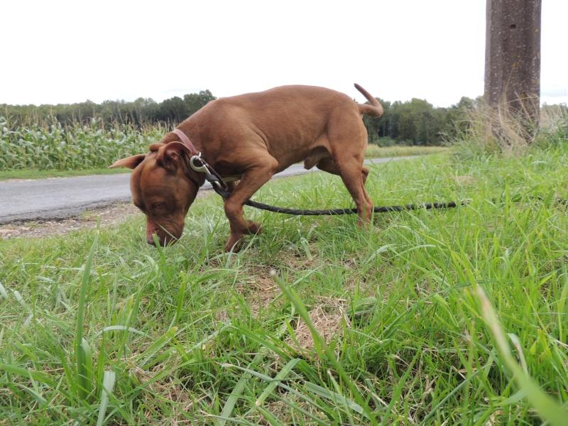 MARLEY- Staffordshire Bull Terrier =Staffie 13_sep10