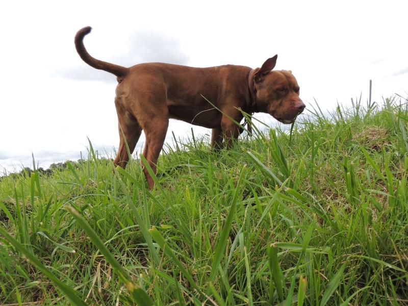 MARLEY- Staffordshire Bull Terrier =Staffie 13_sep11