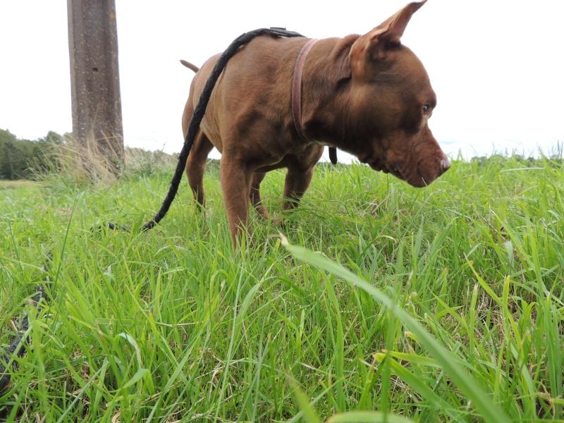 MARLEY- Staffordshire Bull Terrier =Staffie 13_sep12