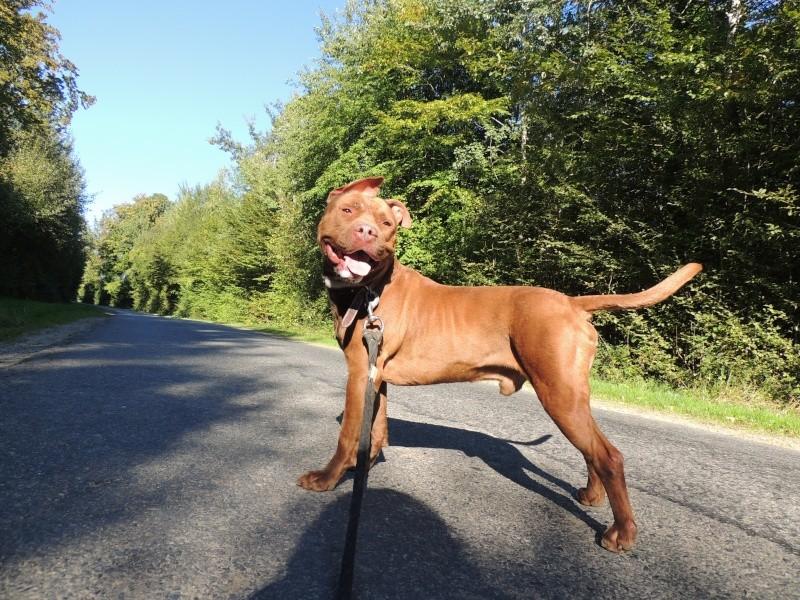 MARLEY- Staffordshire Bull Terrier =Staffie Vendre15