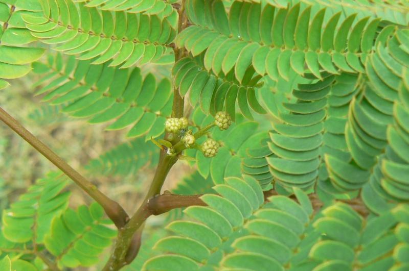 Albizia(ou arbre a soie) - Page 2 P1030312
