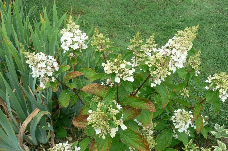 Hydrangea   Hortensia des jardins - Page 2 P1030318